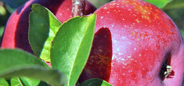 apple tree orchard apple picking Autumn Equinox Fall Cracker with ...