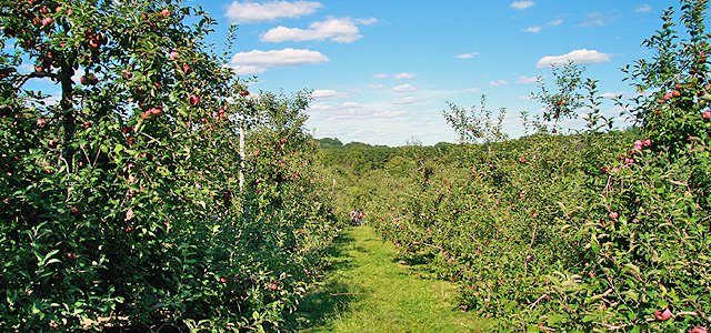 apple tree orchard apple picking Autumn Equinox Fall Cracker with Apple-Themed Paper and Ribbons Holiday & Hearth Holiday and Hearth Lisa Novelline Lisa Anne Novelline author writer The Dance of Spring craft blog creative blog creativity decorator blog festival celebration summer seasons nature blog Mabon Autumn Equinox Harvest Season Season of the Witch September apple orchard long shot